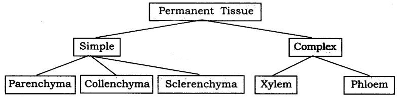 ncert-solutions-for-class-9-science-tissues-5