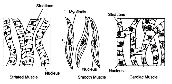 ncert-solutions-for-class-9-science-tissues-2